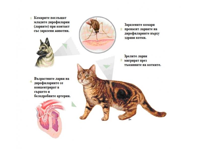 Dirofilaria Ag Test – Кучета/Котки (хваща антигена от тялото на паразита, по този начин открива мъжки, млади женски и женски паразити)