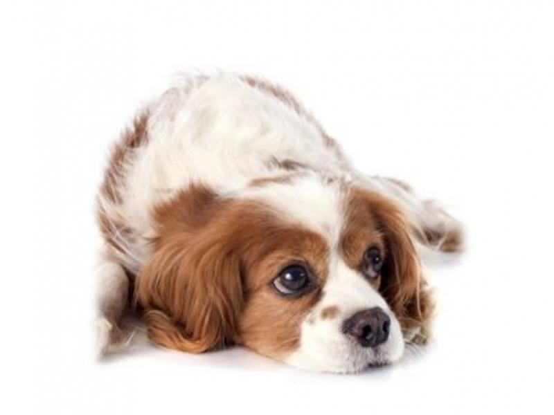 Canine Parvovirus Rapid Test