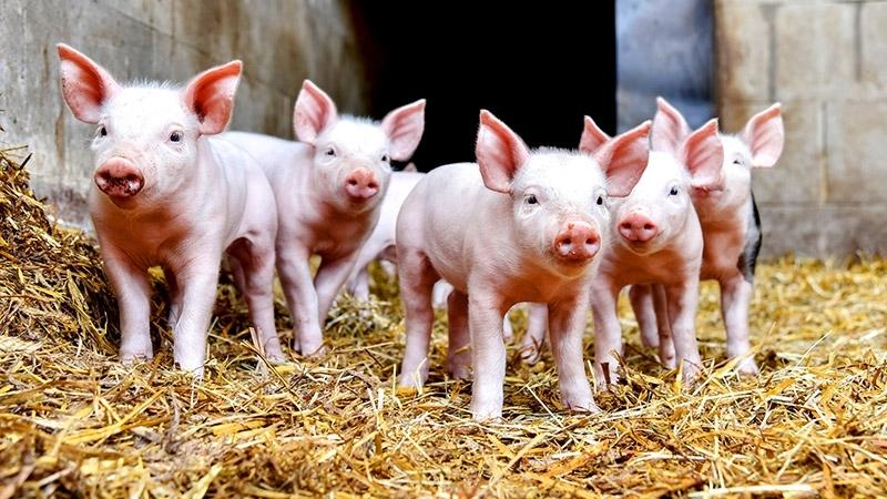 Тестове за свине