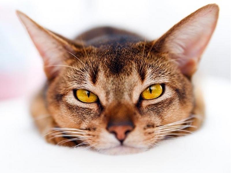 Бърз тест за Котки  - Feline Panleukopenia Ag
